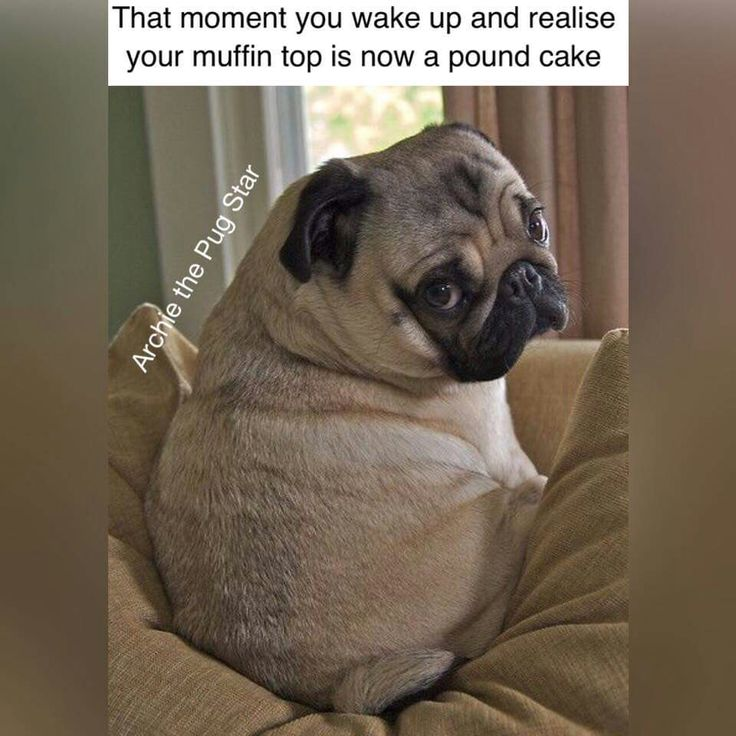 #pugs #dogs #retweet #pug #follow #like #puglife #aww #dog #funny #cute #pugchat #fun #Pugs #lol #pets #folloback #pugsdaily #puppy #humor