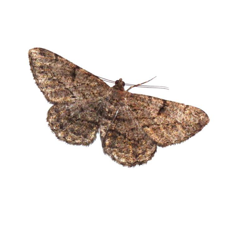 Moth png by Adagem.deviantart.com on @DeviantArt