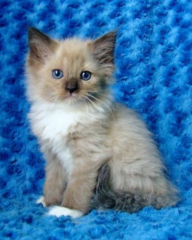 Ragdoll Kittens for Sale - Buy Ragdoll Kittens