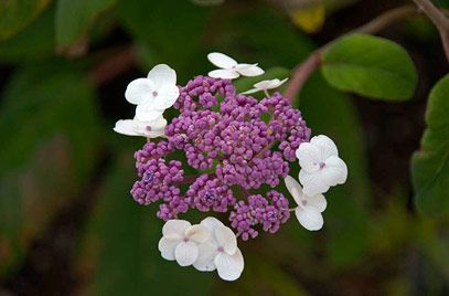 large-leaved scabrous hydrangea