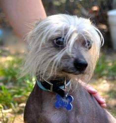 Adopt Shaggy On Petfinder Chinese Crested Chinese Crested Dog Dogs