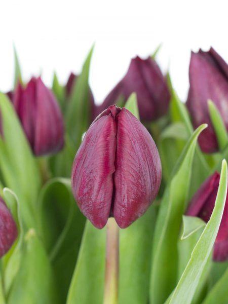 die besten 25 lila tulpen ideen auf pinterest lila blumen tulpenblumenideen f r hochzeiten. Black Bedroom Furniture Sets. Home Design Ideas