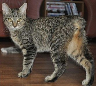 Rare cat breeds and Breed information - Manx. My sweet Manx, Tana, looked somewhat like this cat, but had less pronounced markings. I sure do miss that sweet cat.