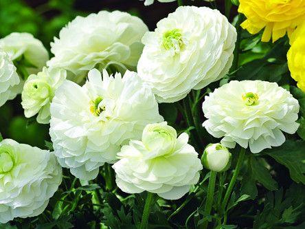 Лютик азиатский белый (Ranunculus Mirabelle Vert. White) 5шт