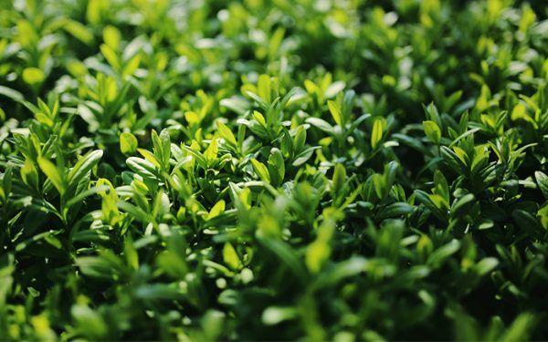 los-mejores-arbustos-de-crecimiento-rapido-07