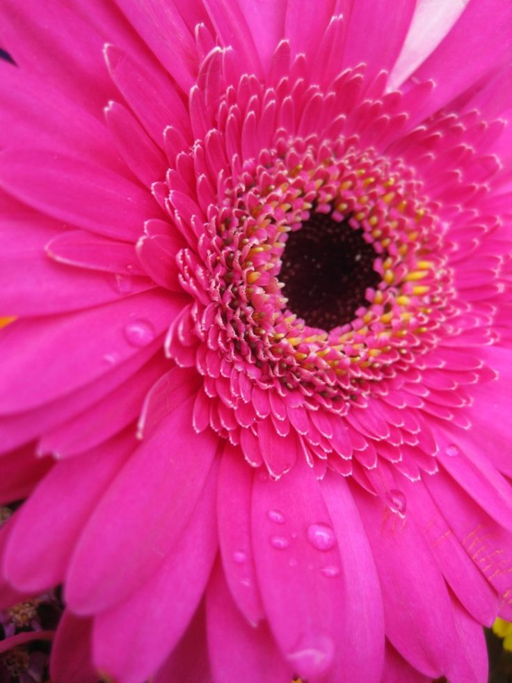 hot pink Gerbera daisy #BeautyforBreastCancer #Fragbeautiful flowersranceNet