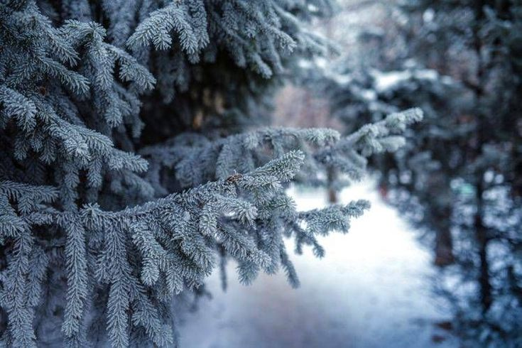 snow, Winter, Forest, Conifer, Depth of field, Trees hd wallpaper