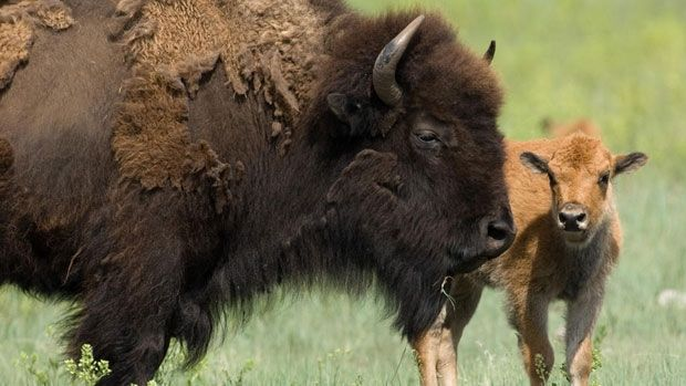 Parks Canada officials are looking to bring herds of bison back to Banff National Park and they're looking for public input to help them do it.  The initiative was first announced in January 2012 to reintroduce wild plains bison to Canada's first national park.  Officials have already met with provincial representatives, municipal governments, stakeholders, organizations, and even technical experts for input.