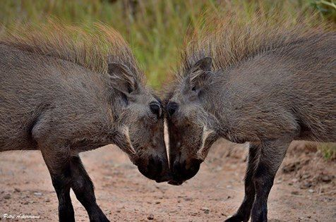 When it comes to sparring, these two young warthogs certainly showed us how its done!