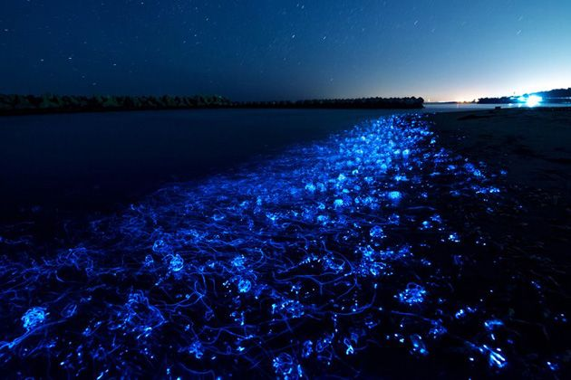 When firefly squid move close to coast, this phenomenon happens. You can see this during the spawning season from March to May. It normally happens at night when the sea is quiet without moonlight.
