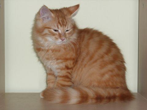 Doubitchou, chaton roux à poils longs à adopter en région parisienne avec l'Association Solana