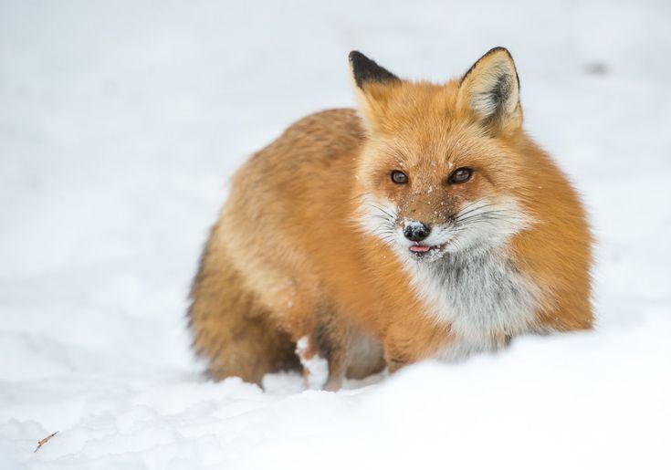 Full and Half Day Wildlife Field Trips in the Alberta Foothills #adultfieldtrips #redfox #cuteanimals #wildlife #alberta