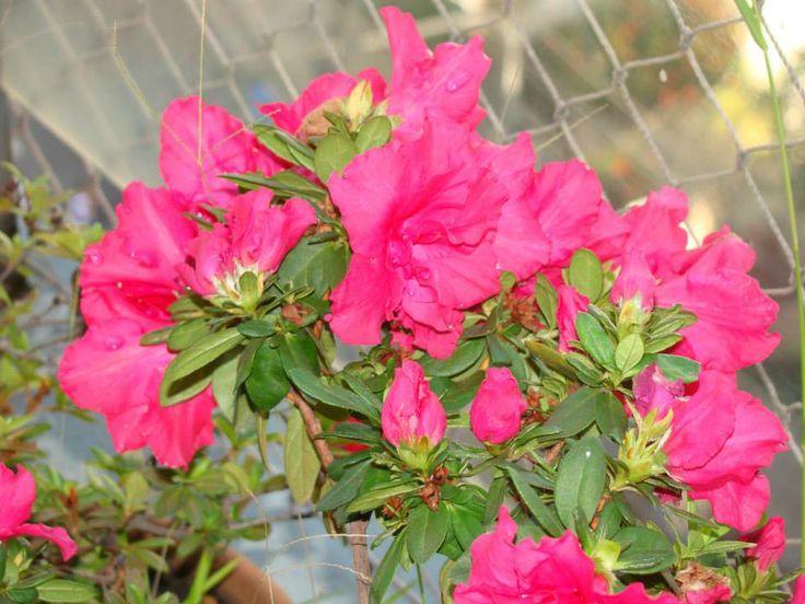 Azaleia Rosa  Nome popular: Azaléia; Azaléia-belga. Nome científico: Rhododendron simsii. Família:Ericaceae. Origem: China.  As Azaléias são arbustos floríferos muito apreciados no mundo todo. As plantas são arbustos de ramos lenhosos, que dão muitas flores. Elas são formadas pela hibridação e seleção entre várias espécies, principalmente R. indicum Sweet, de 1 a 2 m de altura.