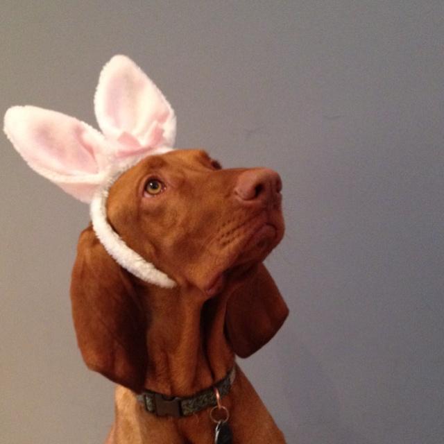 Vizsla Odin the Easter Bunny