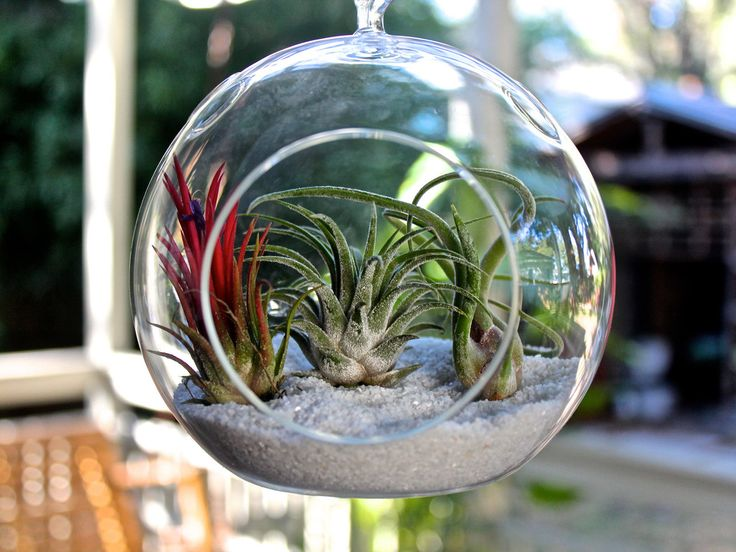 3 tillandsias + sand + cool hanging globe + twine = Stunning air plant terrarium