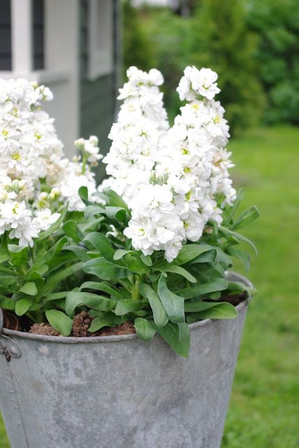 Highly scented white stock in an old zinc bucket. #container_garden #flowers #annuals