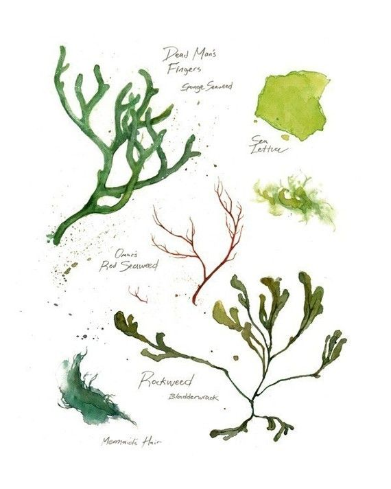 Seaweed Botanical Art Print 8x10