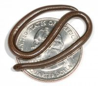 The Barbados threadsnake is the smallest known snake species. It is believed to be endemic only to Barbados and the local population is thought to be quite small.