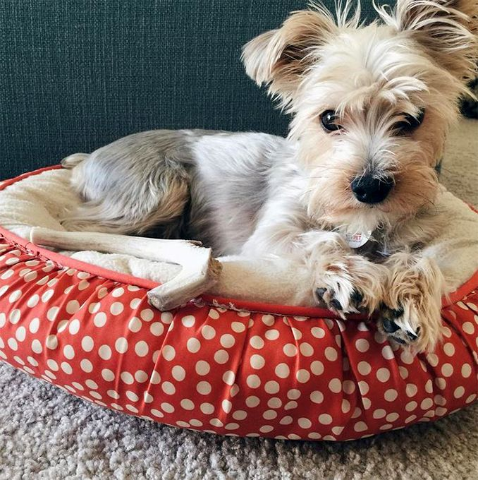 Yorkipoo Dog Breed Information, Pictures, Characteristics