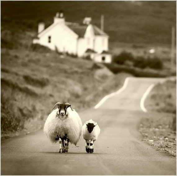 Sheep Walking in the Highlands
