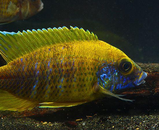 F 1 Yellow Benga Sunshine Peacock Auloncara Baenschi