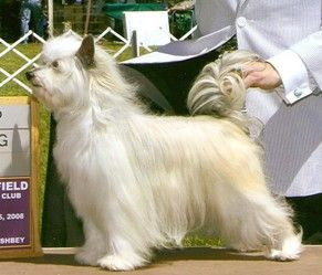 223 best Chinese Crested Powder Puff images on Pinterest