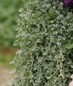 dichondra silver falls 13993 plants - Kopfteil Plant Knig