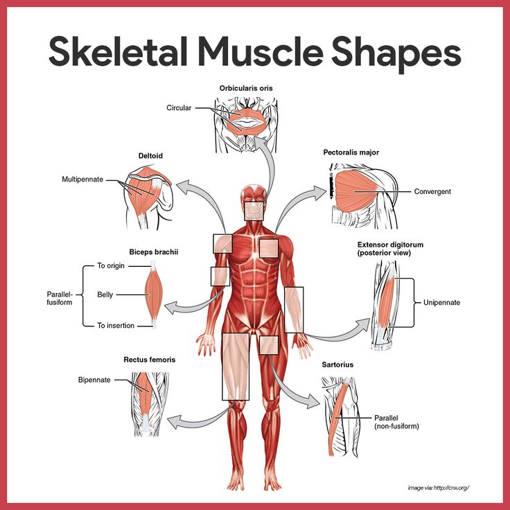 skeletal system study guide Unit 3 test: the skeletal and muscular systems  your test will cover the skeletal system notes, joint notes, and muscular system notes it will also cover the material.