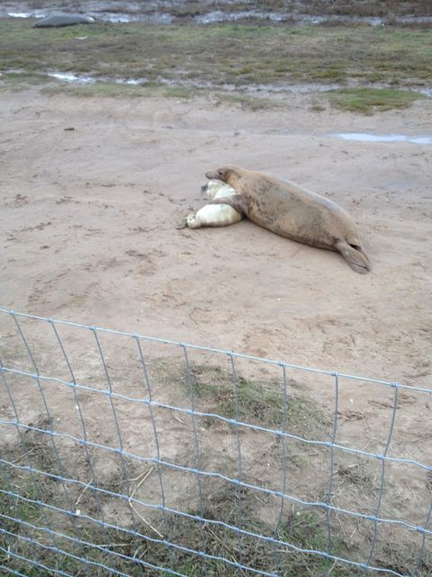 Donna Nook : Each year in November/December the females come ashore to give birth to their pups ...