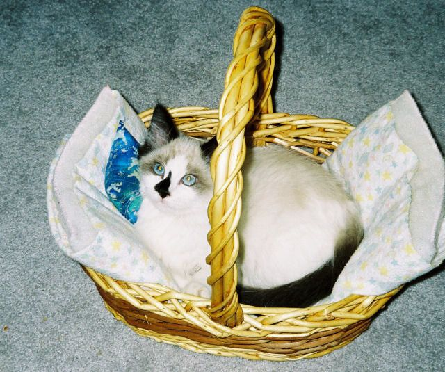 ... about Ragdoll cats & kittens on Pinterest | Cats, Persian and Chloe