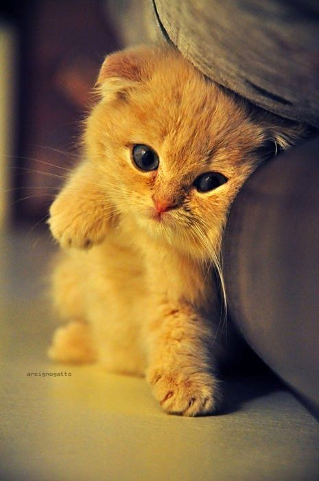 Un petit chat trop mignon ... this little babe is adorable ... I want to cuddle him under my chin, right now!  (mtk)