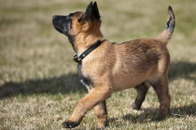 Belgian Malinois Puppies: Breed