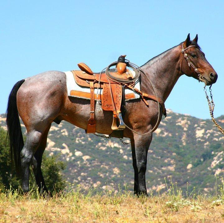 Bay Roan roping horse