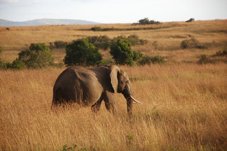 Elephant in Masai Mara,Kenya