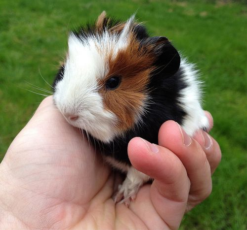 Sometimes I wish baby guinea pigs stayed this small and adorable for a little longer! Well, they're always adorable I suppose, but compared to their baby form they become giant monsters that try to eat you out of house & home.