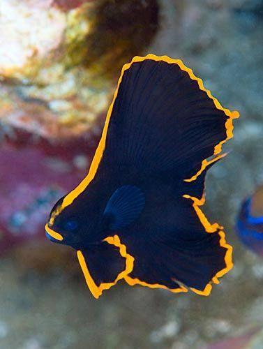 Pinnate Spadefish (Platax pinnatus)