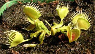 "Плотоядные растения: Венерина мухоловка - Dionaea muscipula ""Funnel trap"""