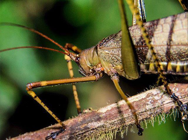 Especies de la reserva natural Río Claro Antioquia. . #macro #macrophotography #criket #insect #colorful #insectos #isectariouniversidadnacionalmedellin #universidadnacional #medellin