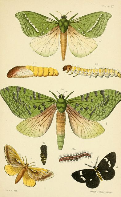 Lepidoptera Hepialus virescens (plate IX) from Moths. An elementary manual of New Zealand entomology, London, West, Newman & Co, 1892. ~via BioDivLibrary, Flickr: click for link