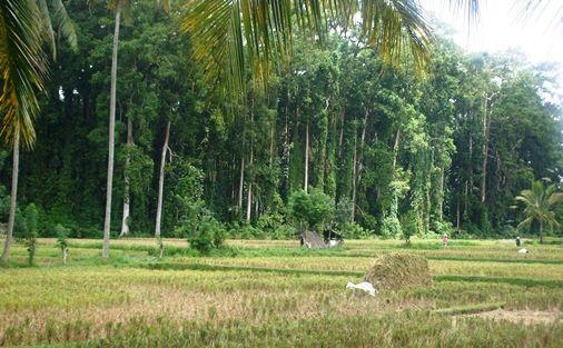 Sangeh Bali Monkey Forest - Monkeys and Nutmeg Trees