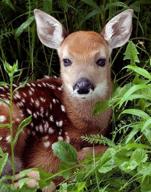 Such a beautiful little Fawn, I love the spots on its back and how its looking straight at the camera