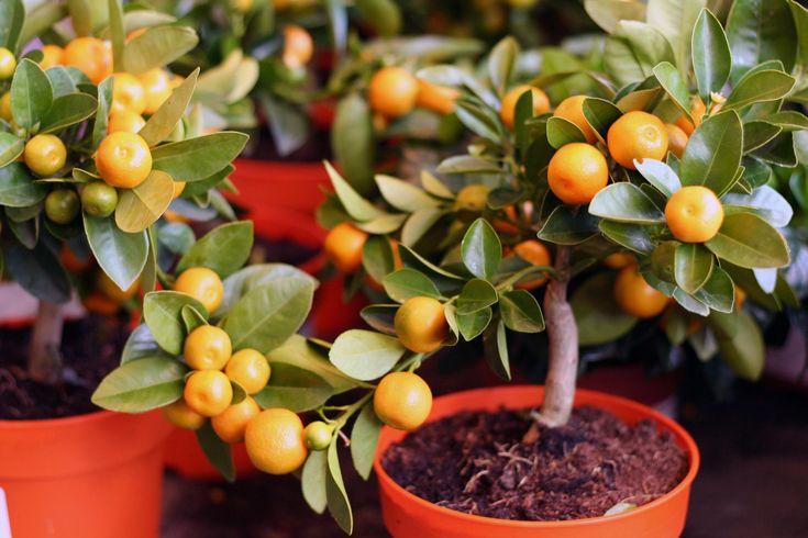 У многих цветоводов-любителей иногда возникала мысль о посадке косточки от мандарина. Но будет ли дерево не только расти, но еще и плодоносить ароматными фруктами? Чтобы это произошло, необходимо осуществлять правильный уход в домашних условиях за мандариновым деревом. Виды и сорта домашнего мандарина В природе