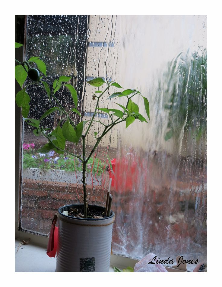 Chili growing in window sill-raining outside.