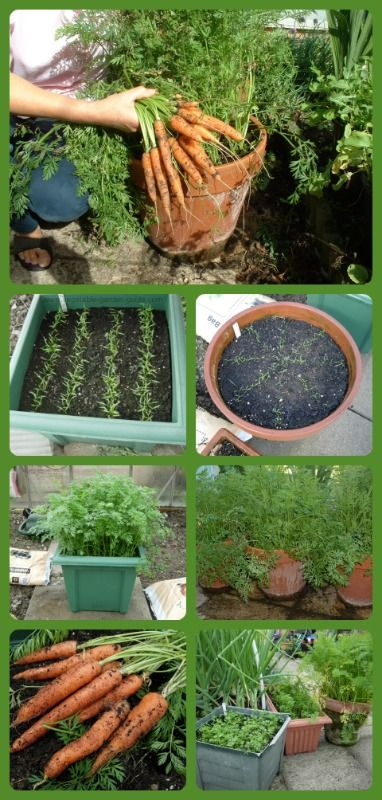 "Growing carrots in containers: Fill with peat, make drills, sprinkle seed, cover and water, thin out to 1"" spacing when 2"" tall then grow on and harvest. Min 10 plants per person"