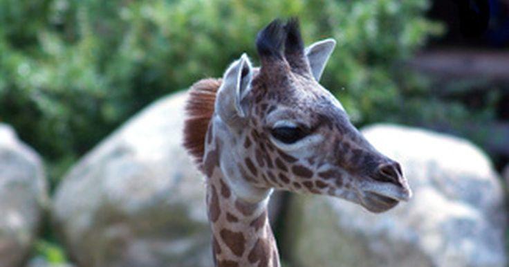 Cómo hacer decoraciones de animales de safari para un baby shower. Los baby showers con tema de la selva o safari se han vuelto populares especialmente entre mamás modernas. Los animales son un tema neutral de género, que funciona si sabes o no el sexo del bebé. Cuando se trata de decorar para un baby shower con tema de safari, es fácil trabajar con criaturas de la selva porque son sencillos de conseguir.