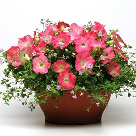 Fuseable petunia and bacopa