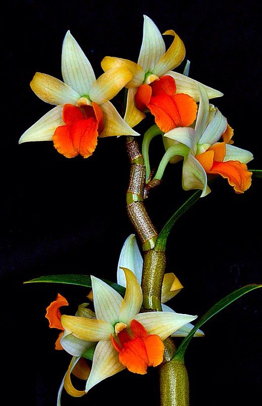 Dendrobium orchid                                                                                                                                                     More