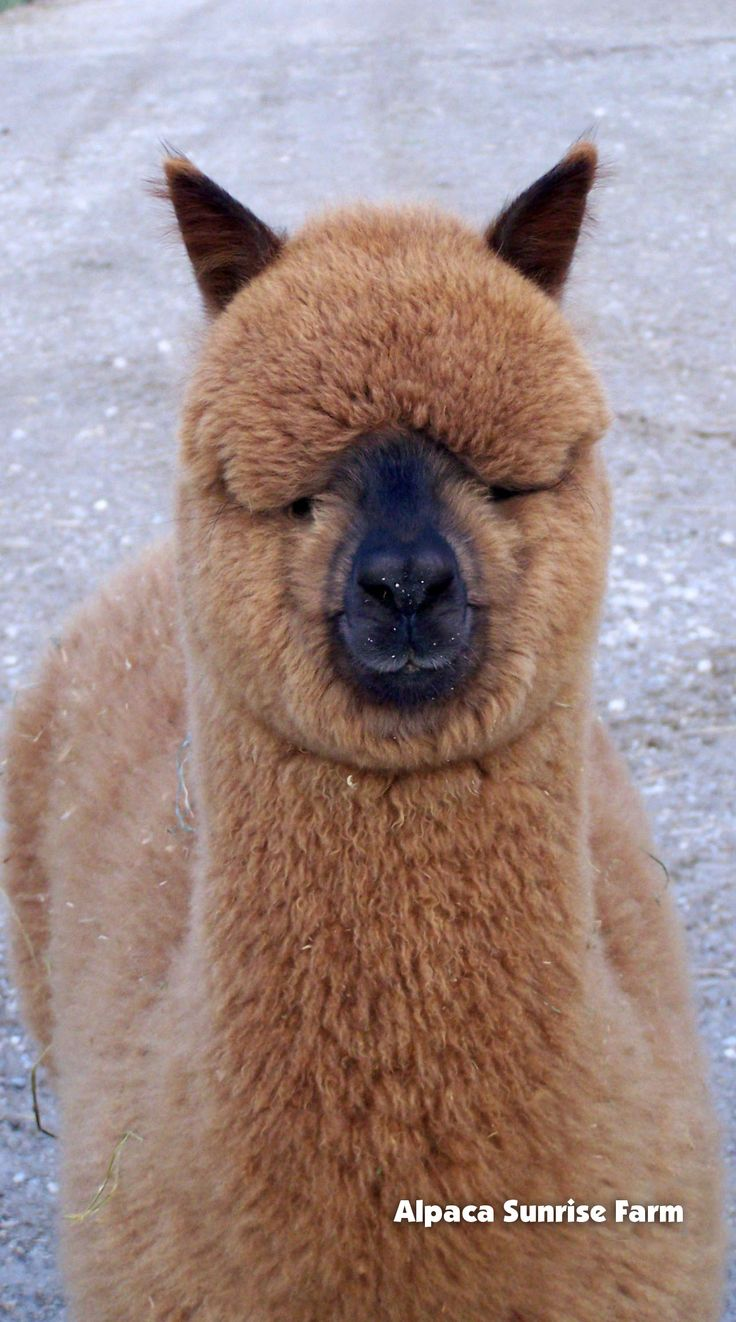 HUACAYA ALPACA. Alpaca Sunrise Farm is a full-service Alpaca farm since 1998 • Alpaca sales • breeding • boarding • Alpaca raw fiber, yarn, roving sales for knitters, crocheters, weavers and fiber artists. www.AlpacaSunrise.com #alpaca #alpacas