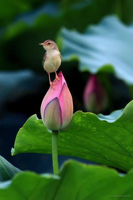 little bird steps lightly on a flower bud~