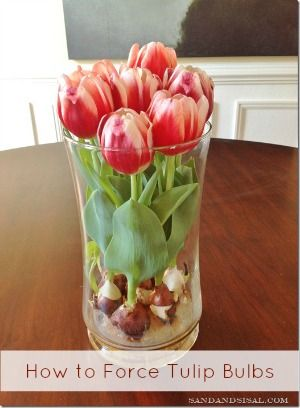 How to Force Tulip Bulbs